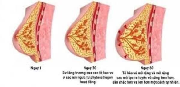Cơ chế hoạt động của kem nở ngực
