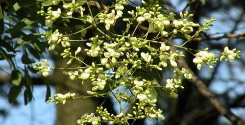 Bài thuốc chữa trĩ từ hoa hòe
