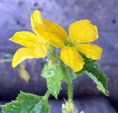 Bài thuốc chữa trĩ từ hoa mướp đắng